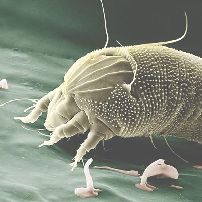 Desinfección de ácaros